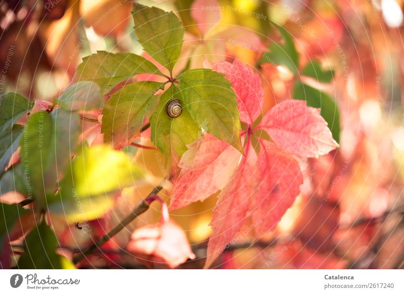 Snail in autumn Nature Plant Autumn Blossom Virginia Creeper Leaf Vine Tendril Garden 1 Animal Illuminate To dry up Beautiful Small Natural Brown Yellow Green