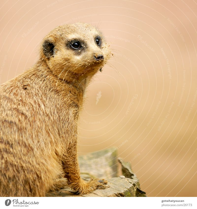 The Gaffer Animal Meerkat Zoo Enclosure Captured Looking Curiosity Pelt Depth of field intrigued Sand Dirty Eyes Nose