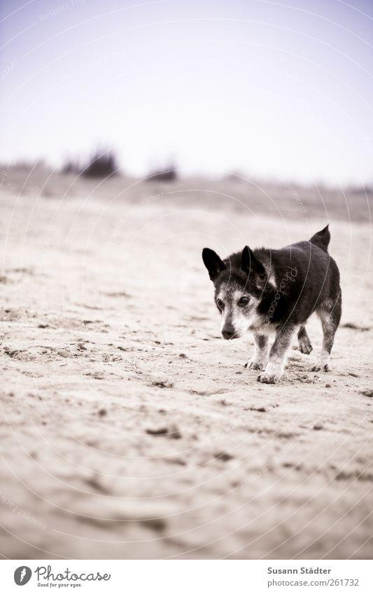 Dog Old Beach Animal Gray Sand Walking Running sports To go for a walk Pet Spiekeroog Germany Puppydog eyes Walk the dog High-maintenance