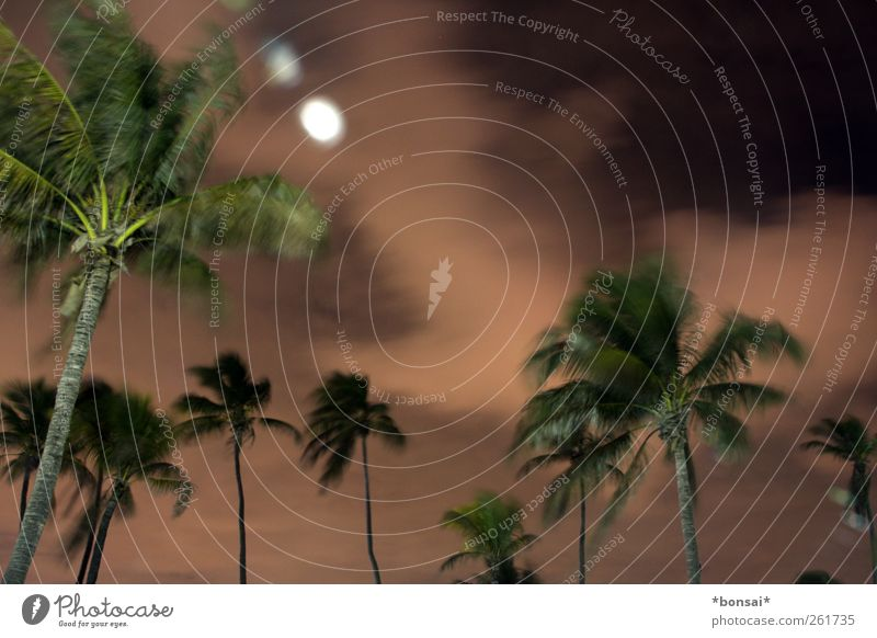 stormy Vacation & Travel Nature Plant Sky Clouds Night sky Wind Gale Tree Exotic Palm tree Movement Dark Large Tall Natural Wild Power Unwavering Tree trunk