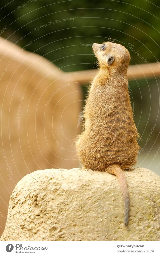 Calm Animal Stone Rock Sit Stand Africa Zoo Captured Depth of field Tails Motionless Stay Enclosure Meerkat