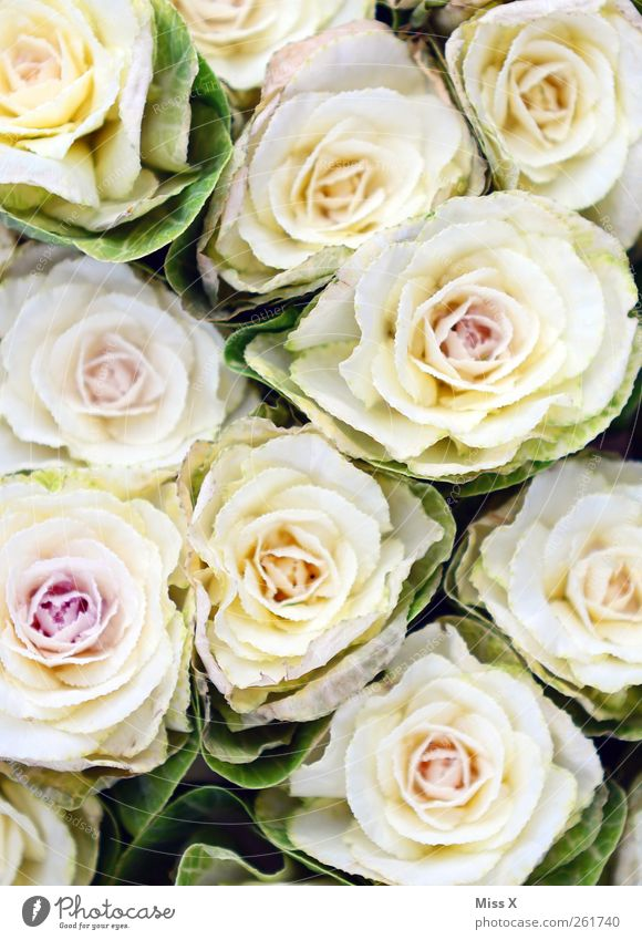 valentine delay Valentine's Day Mother's Day Spring Summer Flower Rose Blossom Blossoming Fragrance Pink White Display of affection Bouquet Gift Colour photo