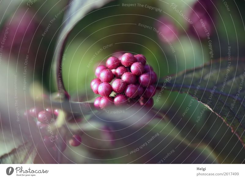purple pearls and leaves on the love pearl bush Environment Nature Plant Autumn bushes flaked fruit Ornamental plant Garden To dry up Growth Authentic