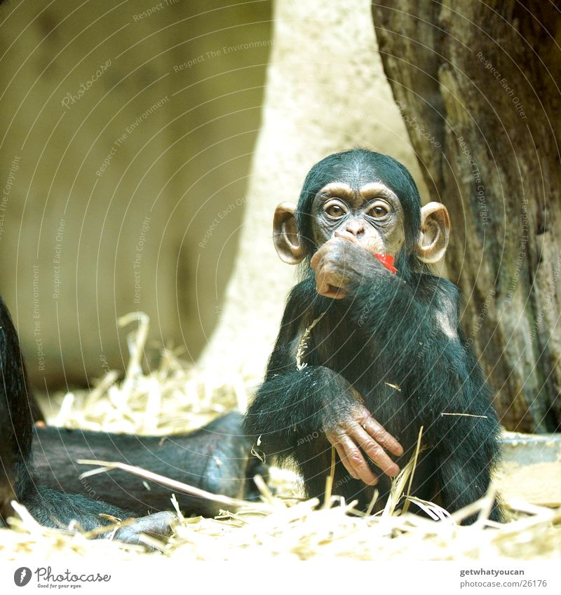 Ape Animal Monkeys Chimpanzee Captured Human being Nutrition Playing Straw Depth of field Glass Food Think Looking Eyes
