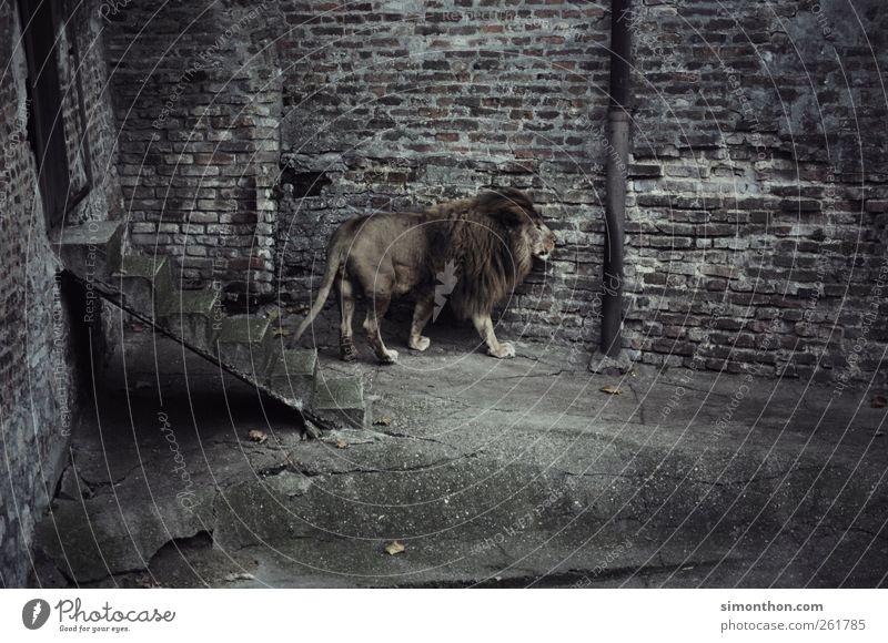lonely lion Wild animal Pelt Zoo 1 Animal Claustrophobia Perturbed Adventure Fear Esthetic Elegant Hope Power Crisis Boredom Lion Subdued colour Exterior shot