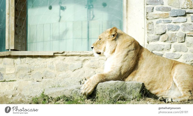The Proll Animal Lion Land-based carnivore Cat Africa Steppe Enclosure Captured Calm Looking Observe Dangerous Zoo House (Residential Structure) Wall (building)