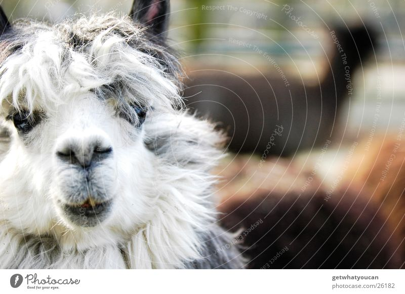 The Beatles biggest fan Animal South America Enclosure Zoo Hair and hairstyles Wool Floor mat Stupid Cute Blur Captured Amazed Foreground Llama Eyes Mouth