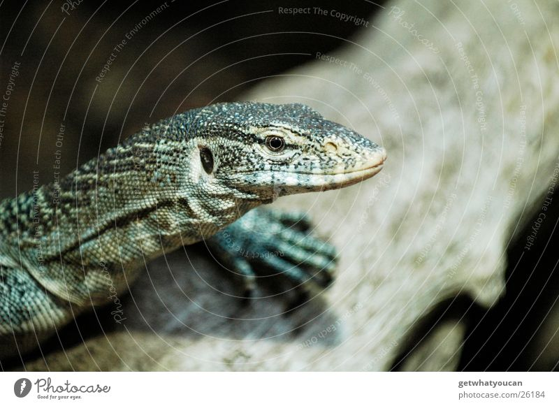 Dragon rest part 2 Animal Waran Reptiles Lizards Terrarium Captured Serene Watchfulness Looking Observe Tree Weather Blur Calm Hunting