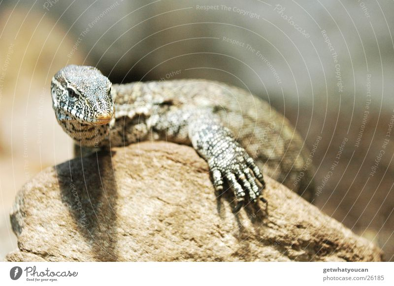 Calm Animal Stone Warmth Contentment Rock Physics Observe Zoo Serene Hunting Captured Reptiles Claw Saurians