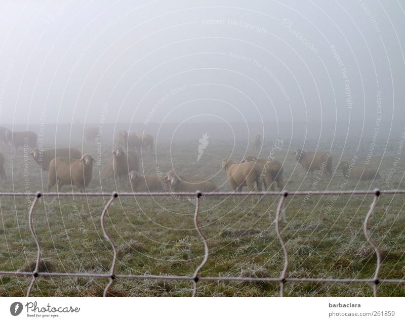 Sheep wool keeps warm Winter Fog Ice Frost Meadow Field Pasture Flock Group of animals Herd sheep's wool Pasture fence Cold Climate Nature Survive