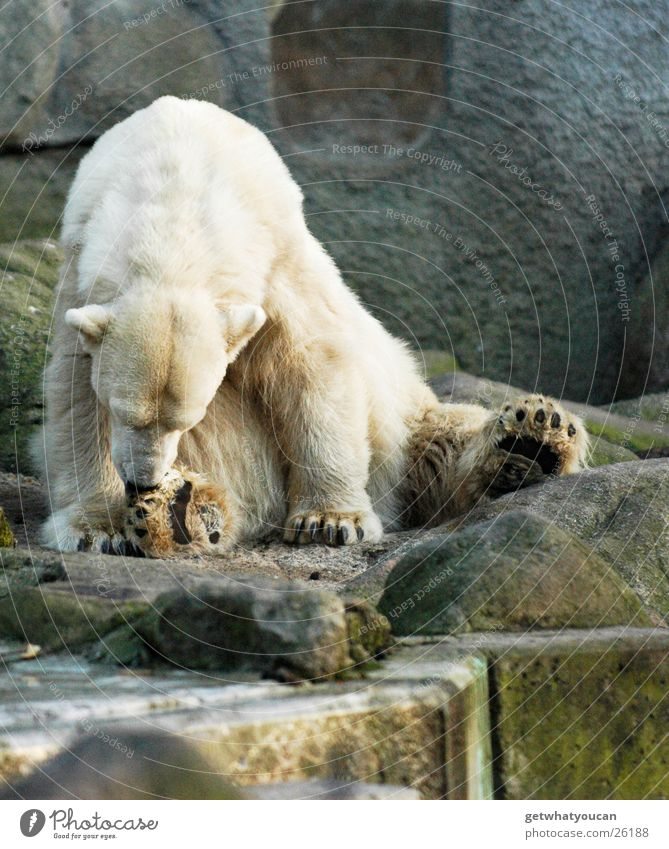 White Animal Cold Feet Dirty Large Sit Dangerous Clean Cleaning Pelt Zoo Wild animal Cute Bear Boredom