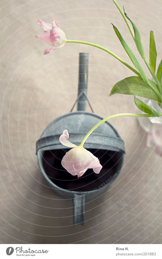 Flower Pleasure Lifestyle Spring Tulip Watering can Blossoming Hang Faded Esthetic Bright Pink Silver Joie de vivre (Vitality) Spring fever Joy Bouquet