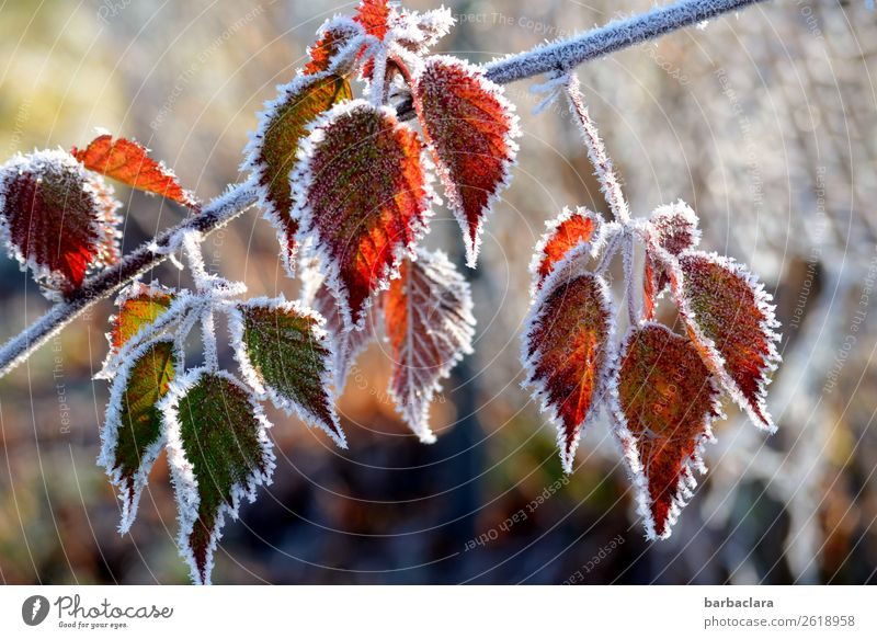 Change autumn leaves get a frost coat Nature Plant Autumn Winter Ice Frost Tree Bushes Leaf Garden Freeze Illuminate Cold Green Red White Moody Esthetic Colour