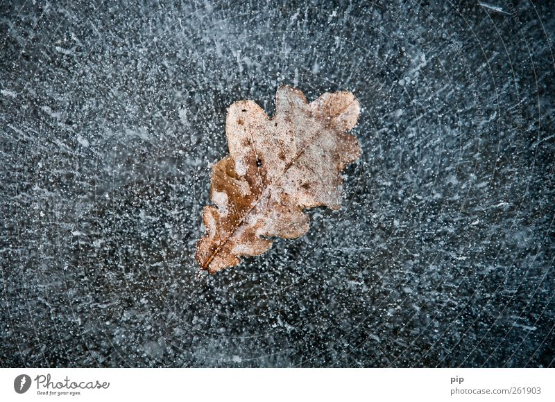 leaf ice Environment Nature Elements Winter Ice Frost Leaf Oak leaf Lake Brown Bizarre captured Air bubble Whimsical Enclosed Considerable Aggregate state
