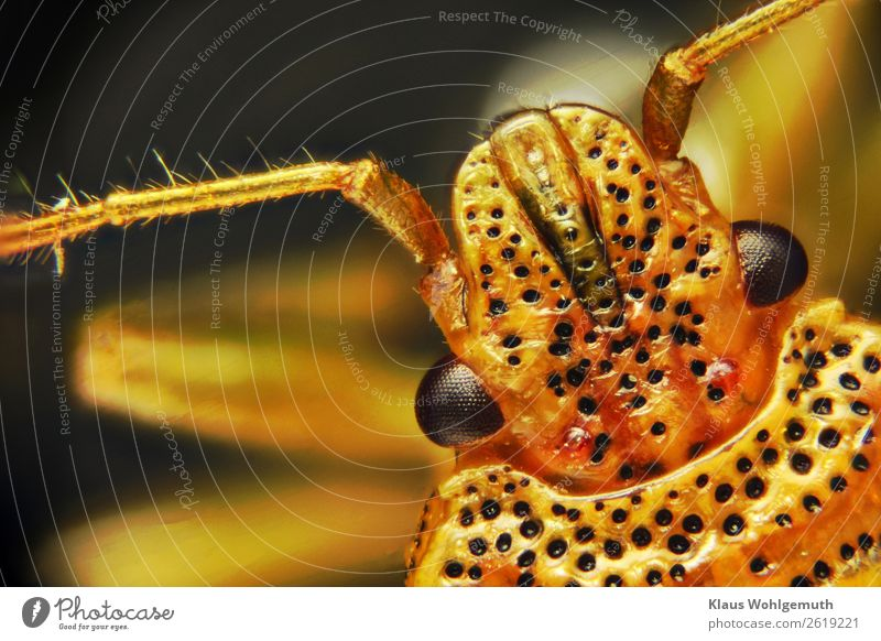 A stink bug Environment Nature Animal Summer Autumn Garden Meadow Forest Animal face Bug 1 Observe Exotic Blue Yellow Gold Black Compound eye Feeler Chitin