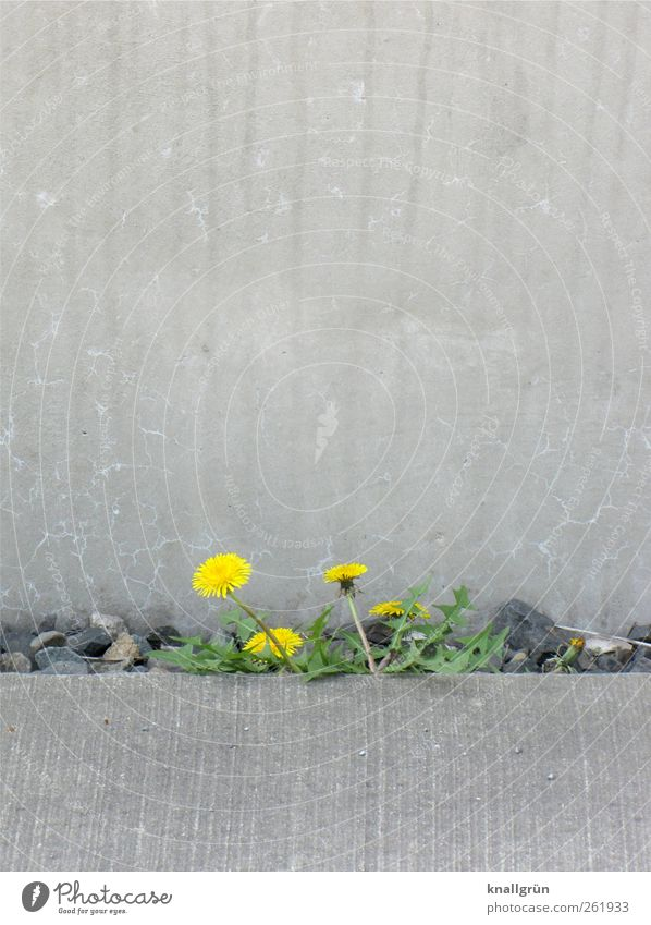 Life is colourful Environment Nature Plant Summer Wild plant Dandelion Wall (barrier) Wall (building) Blossoming Growth Town Yellow Gray Green Emotions Moody
