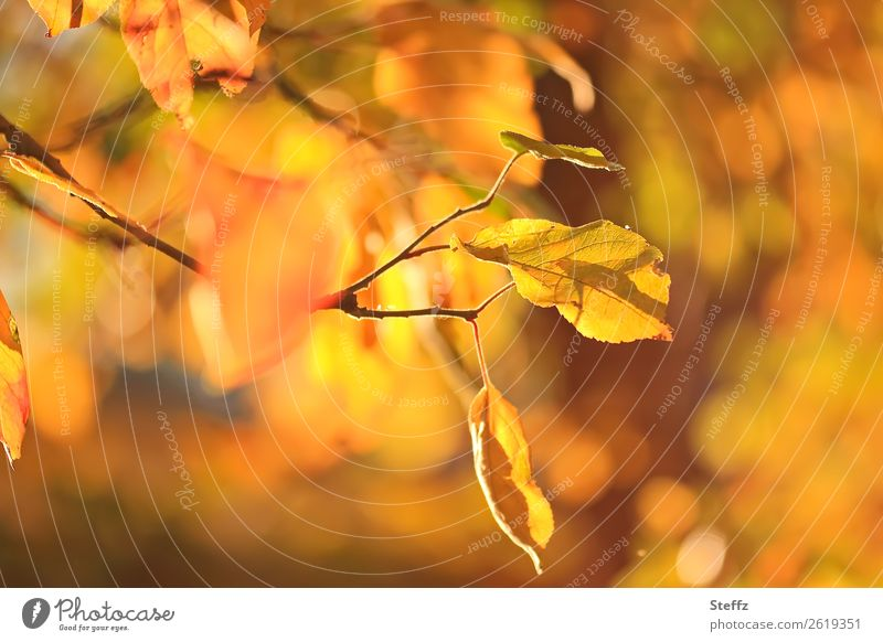 An autumn day Nature Plant Autumn Beautiful weather Leaf Autumn leaves Apple tree Apple tree leaf Twig Garden Fruit garden Illuminate Yellow Orange