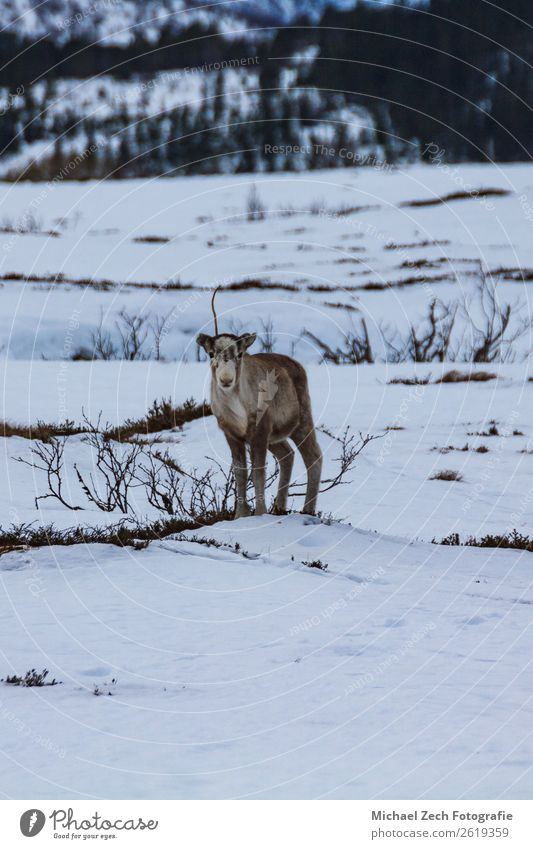 Reindeer in natural environment in winter in norway Hunting Ocean Winter Snow Environment Nature Landscape Animal Clouds Wild animal Natural Brown White