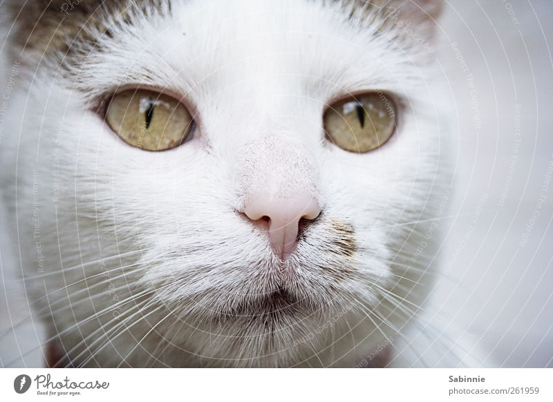 Cat White Green Animal Love Eyes Happy Contentment Pink Nose Cute Soft Curiosity Pelt Animal face Positive