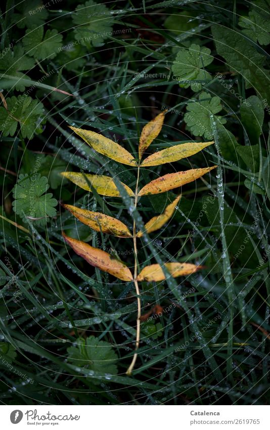 parted Nature Plant Drops of water Autumn Bad weather Rain Grass Leaf Wild plant Rowan tree leaf ground ivy Garden Meadow To dry up Beautiful Wet Natural Yellow