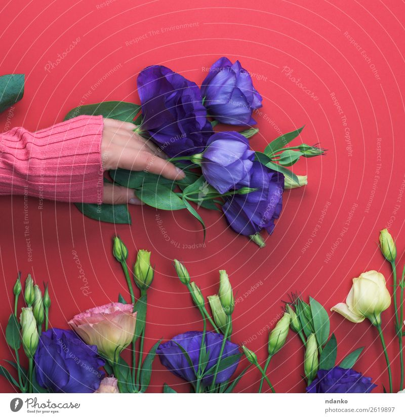 blue flower Eustoma Lisianthus Woman Youth (Young adults) Blue Beautiful Green Red Hand Flower Leaf 18 - 30 years Adults Natural Style Fashion Pink Above