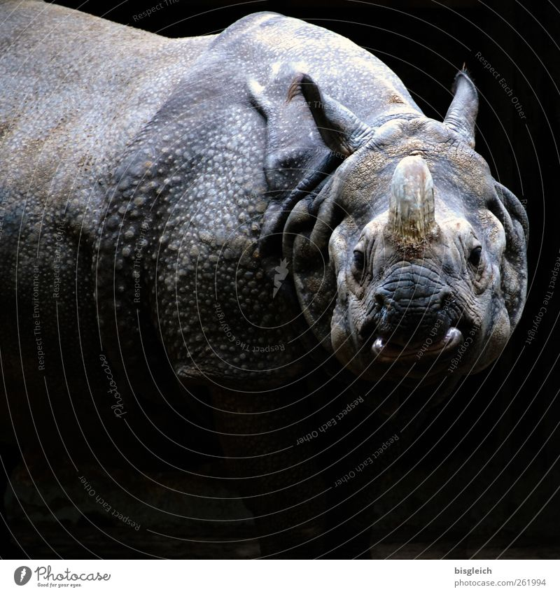 rhinoceros Zoo Rhinoceros 1 Animal Looking Stand Aggression Threat Fat Gigantic Wild Gray Black Colour photo Subdued colour Exterior shot Deserted