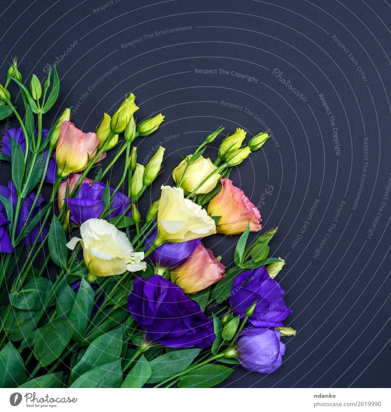 flowers Eustoma Lisianthus Feasts & Celebrations Valentine's Day Mother's Day Flower Leaf Blossom Blossoming Natural Blue Green Pink Black White background