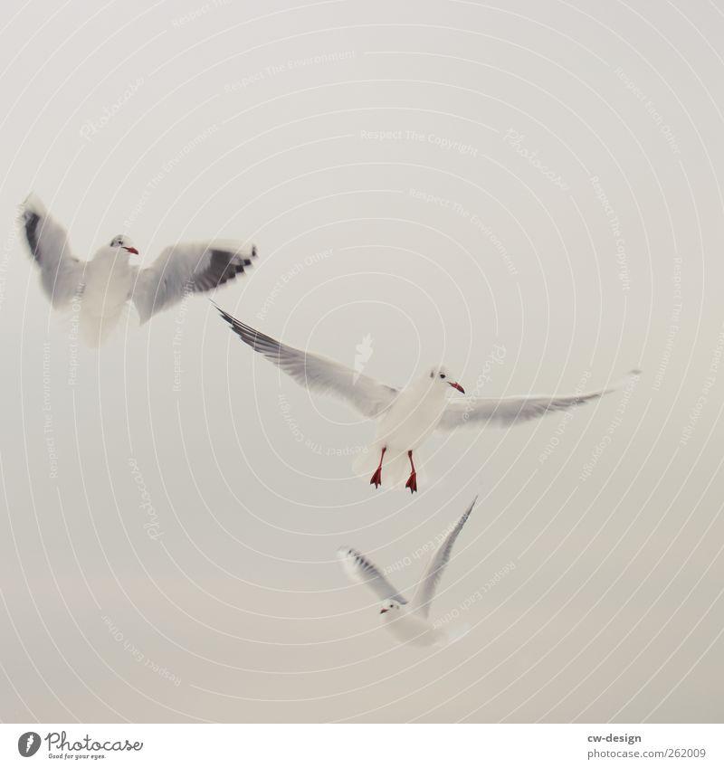 A bird is a bird is a bird Animal Air Sky Sky only Summer Winter Beach Baltic Sea Ocean Bird Seagull 3 Group of animals Flock Observe Flying Looking Elegant
