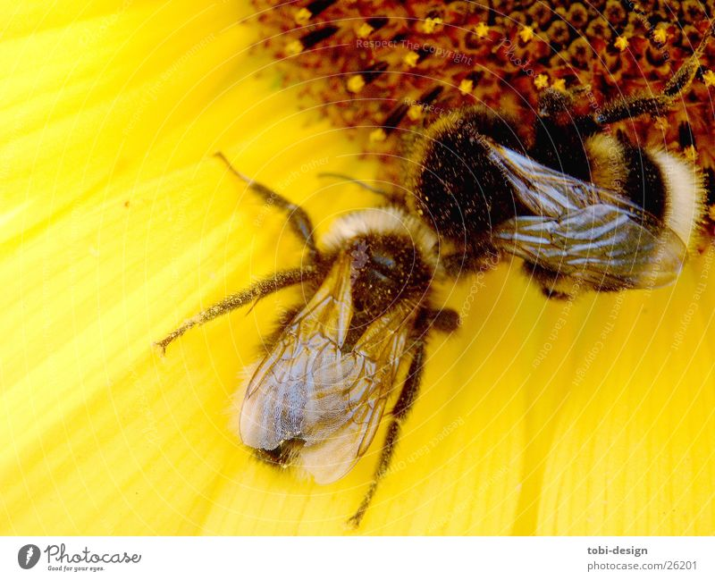 enamoured bumblebee Bumble bee Sunflower Animal Insect Flower Macro (Extreme close-up) Nutrition microorganisms
