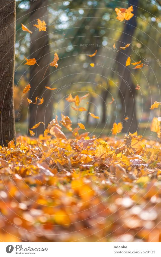falling dry yellow maple leaves Sun Garden Environment Nature Landscape Plant Autumn Tree Leaf Park Forest To fall Flying Bright Natural Brown Yellow Gold Green