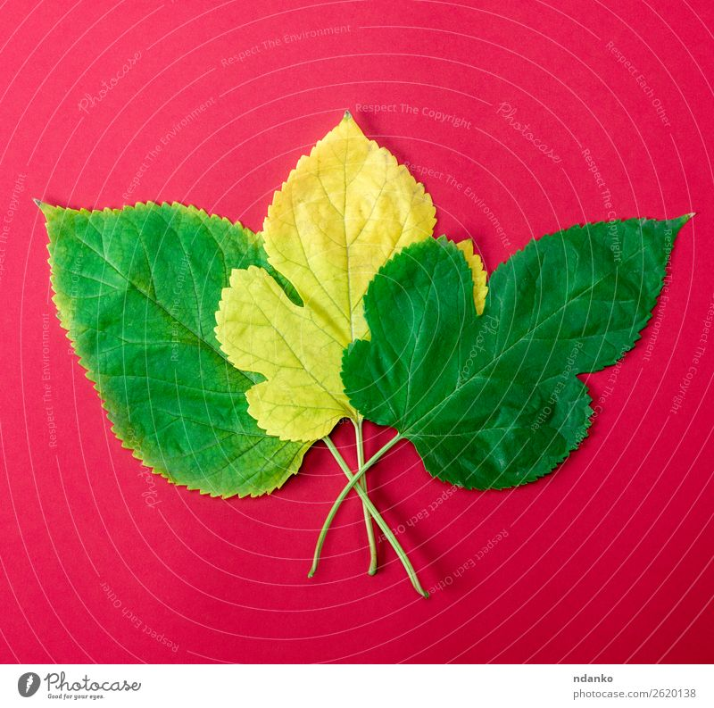 three green and yellow leaves of a mulberry Garden Nature Plant Leaf Growth Fresh Bright Small Natural Yellow Green Red Colour Idea background Botany Floral