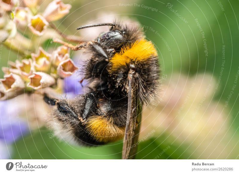 Bumblebee (Bombus Terrestris) Gathering Flower Pollen Summer Garden Environment Nature Plant Animal Blossom Meadow Wild animal Bee 1 Eating To feed Feeding