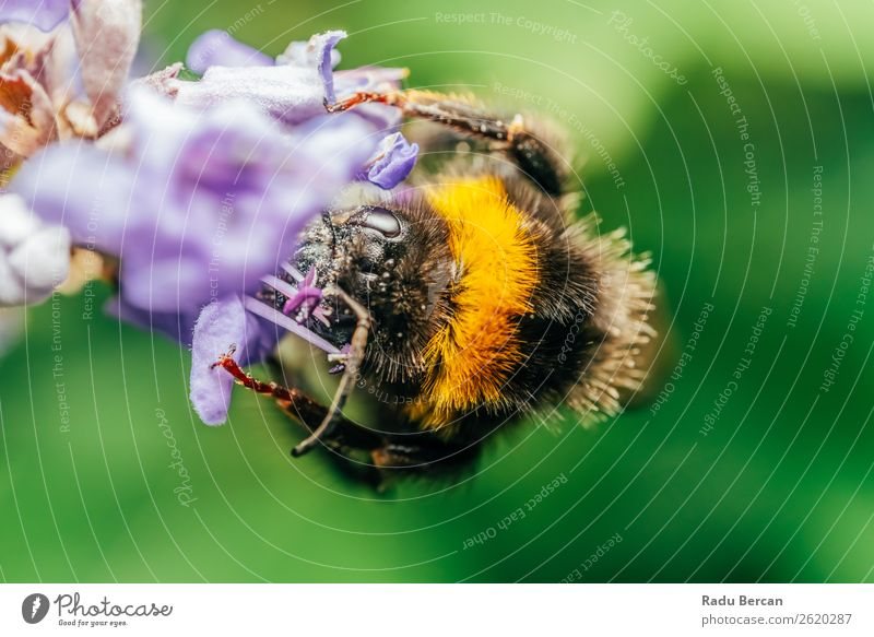 Bumblebee (Bombus Terrestris) Gathering Flower Pollen Nature Summer Plant Colour Beautiful Green Animal Black Yellow Environment Blossom Natural Meadow Small