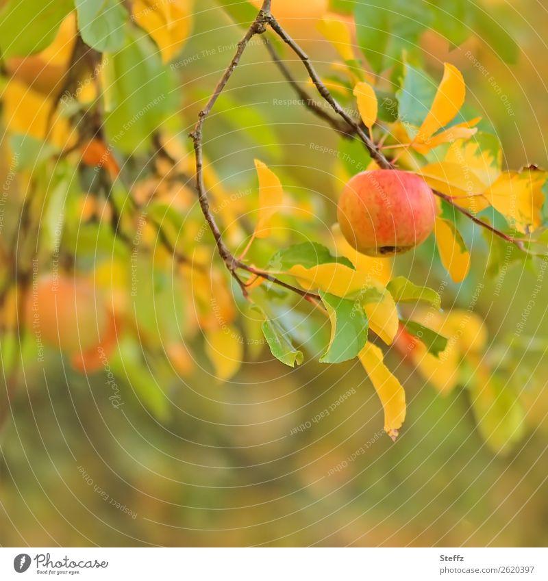 Apples in October apples fruit organic Autumn Fruit garden Garden fruit natural Sense of Autumn Autumnal Autumnal colours Apple tree Warm colour Vitamin Nature