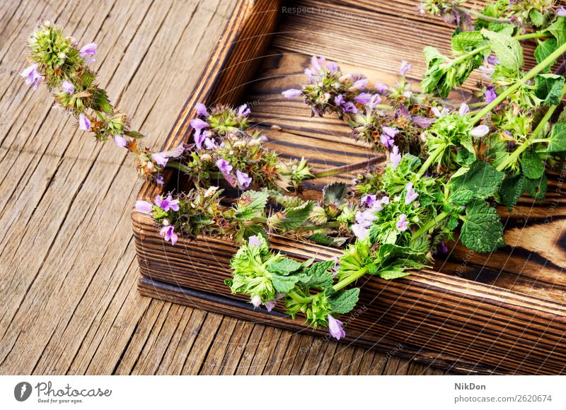 Nepeta,healing herbs and Herbalism herbal medicine medical plant natural healthy green nature flower fresh leaf treatment melliferous remedy aroma mortar