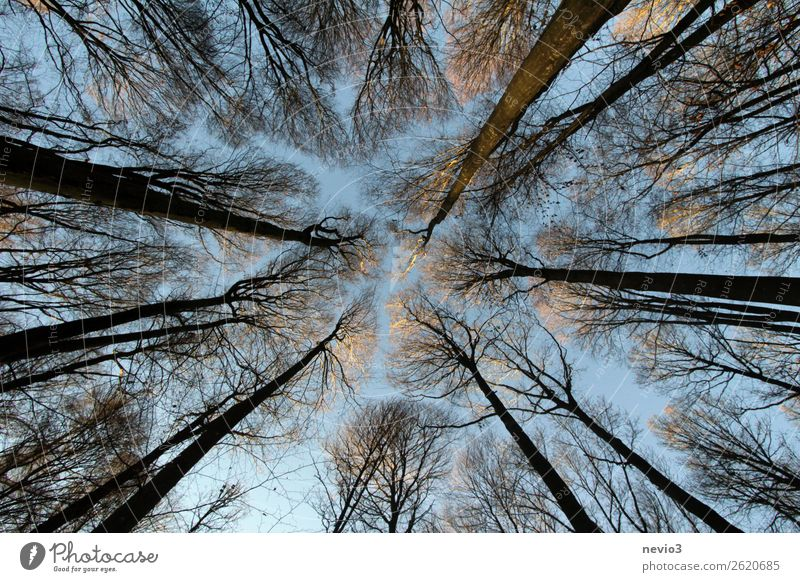 Bald treetops in the winter forest Autumn Winter Tree Forest Tall Treetop Bleak Branch Twigs and branches Deciduous tree Seasons Change Empty Clearing Upward