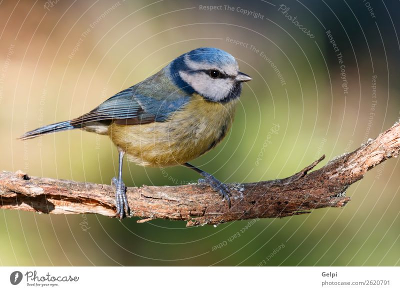 Nice tit with blue head Beautiful Life Winter Garden Nature Animal Wild animal Bird Small Blue Yellow Green White wildlife Beak songbird branch Feather