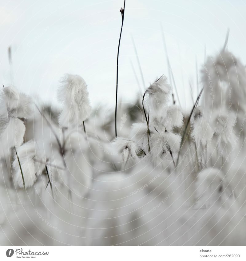 SOFT WOOLY GRASSES Nature Summer Autumn Plant Grass Bushes Blossom Wild plant woolly grasses Cotton grass Cotton gras meadow Meadow Soft Blue Gray Exterior shot