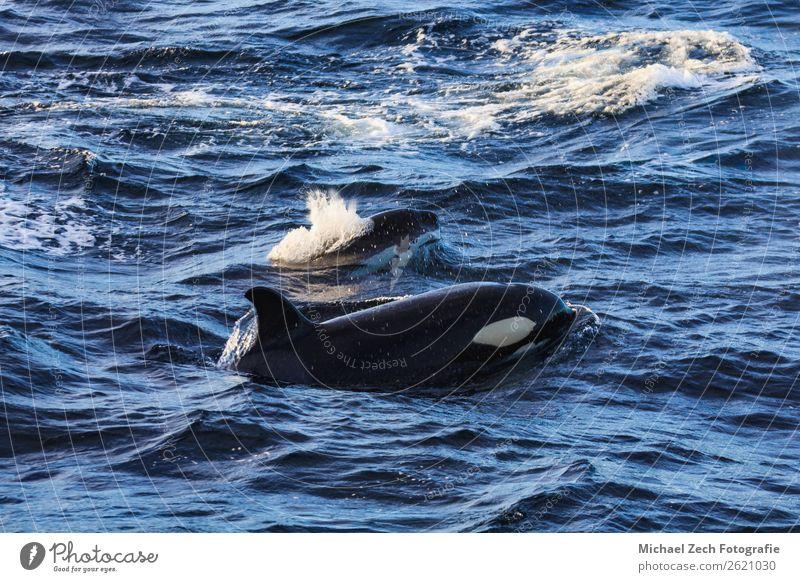 Orcas pilot whales taken at the atlantic near andenes Ocean Snow Mountain Pilot Nature Animal Fish Gray Andenes Atlantic Ocean Living thing dive Enormous fluke