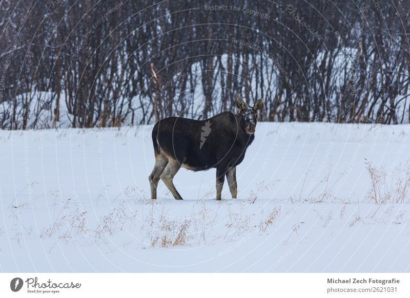 reindeer mother in natural environment in winter Hunting Ocean Winter Snow Environment Nature Landscape Animal Clouds Natural Wild Brown White Tradition area
