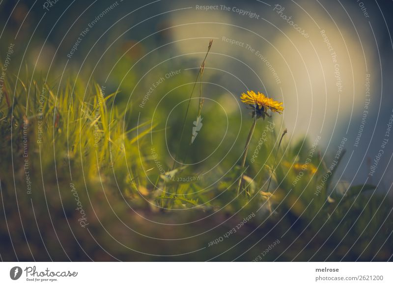 Dandelion in the grass Food for honey Nature Plant Earth Sunlight Summer Beautiful weather Flower Grass Blossom Wild plant Daisy Family Flower stem Meadow