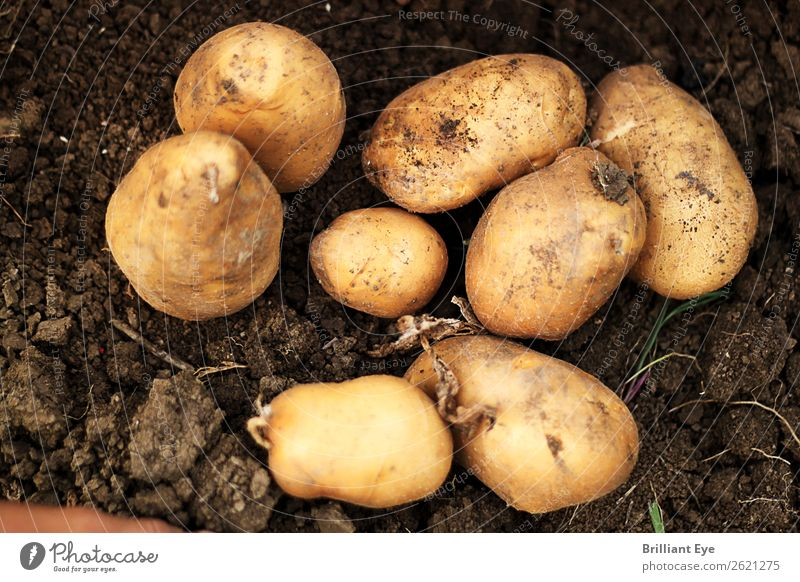Excavated potatoes Potatoes Nutrition Nature Earth Field Dirty Large Small Natural Above Brown Agriculture Dig Harvest Mature Sowing Exterior shot