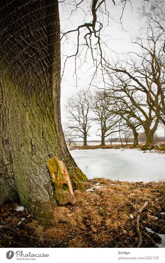 Oaks at the pond Nature Plant Winter Ice Frost Tree Park Pond Authentic Natural Idyll Tree trunk Partially visible Oak tree Frozen surface Branch