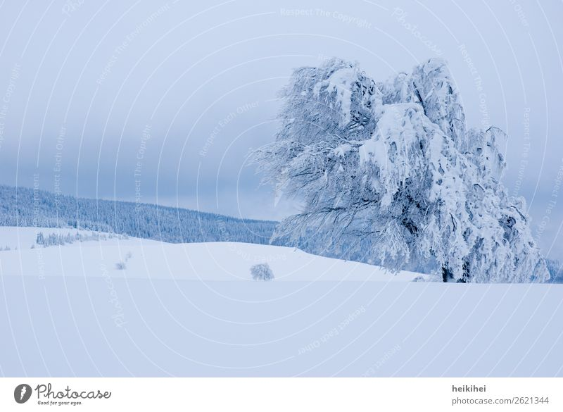 Beautiful winter landscape, snow-covered beech on the Schauinsland near Freiburg Exterior shot Frost Ice Colour photo Landscape Day Environment Plant