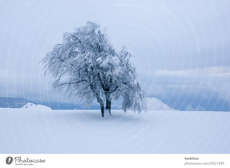 Lonely snowy tree in the evening light Beech tree White Winter Snow Nature Tree Cold Deserted Exterior shot Frost Ice Colour photo Landscape Day Environment