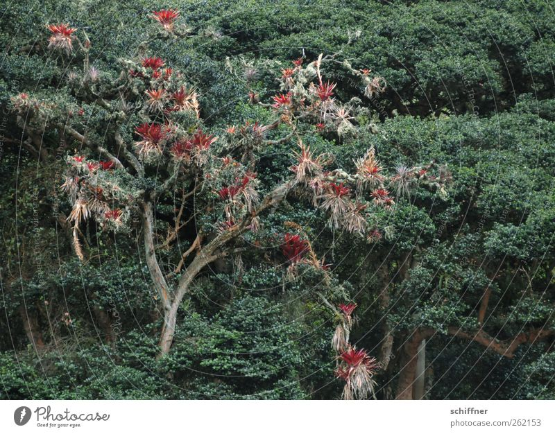 Tree is better than pot Nature Animal Plant Cactus Foliage plant Pot plant Forest Virgin forest Exotic Red Bromelia Cloud forest Deciduous tree Freeloader Green