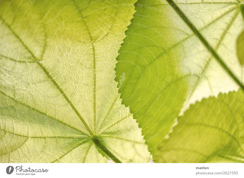 linden Plant Leaf Foliage plant Exotic Bright Green Rachis Stalk Colour photo Interior shot Pattern Structures and shapes Copy Space left Copy Space right