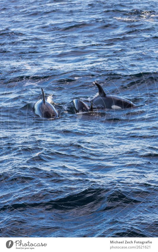 Orcas pilot whales taken at the atlantic near andenes lofoten Ocean Snow Mountain Pilot Nature Animal Wild animal Fish Shark 3 Group of animals Blue Andenes