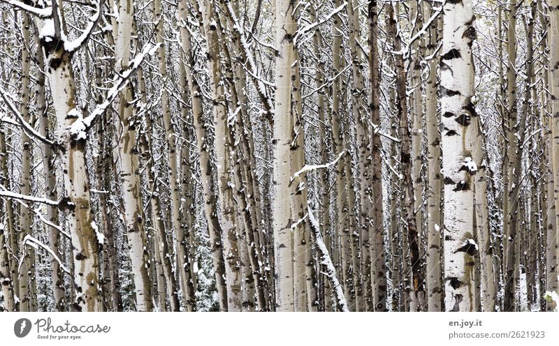 forest density Nature Landscape Plant Winter Tree Tree trunk Aspen Tree bark Forest Cold White Climate Sustainability Network Teamwork Environmental protection