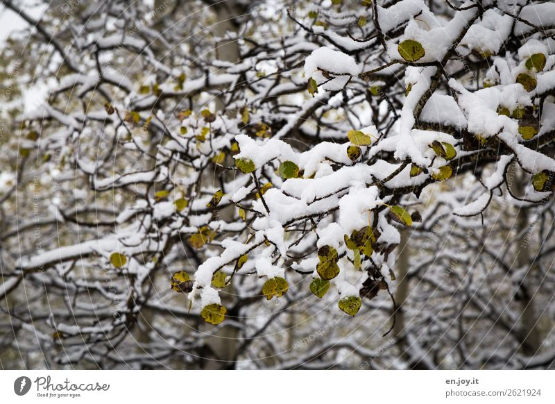 Transformation from green to white Nature Landscape Plant Winter Snow Tree Branch Twigs and branches Leaf Aspen Birch tree Forest Cold Climate Change Autumn